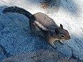 Golden-mantled ground squirrel along Pinnacle Peak trail. mid August 2015. (9d9148f8744943f190c29760a719b662).JPG