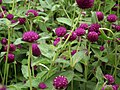 Gomphrena globosa from Lalbagh flower show Aug 2013 8112.JPG