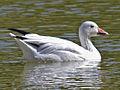 Goose, Snow Luray VA.jpg