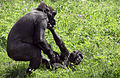 Gorillas At Play (14415831219).jpg