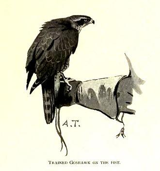 Falconry - A goshawk