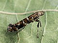 Gracillaria syringella - Lilac leafminer - Моль сиреневая (27121082498).jpg
