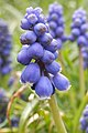 Grape Hyacinth (Muscari sp.) - Simcoe, Ontario.jpg
