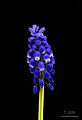 Grape Hyacinth - Muscari armeniacum - Traubenhyazinthe - 01.jpg