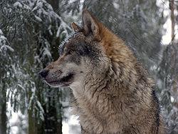 Grauwolf P1130281.jpg
