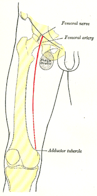 Adductor tubercle of femur - Front of right thigh, showing surface markings for bones, femoral artery and nerve (adductor tubercle labeled at bottom right)
