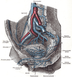 Vesical venous plexus - The veins of the right half of the male pelvis.