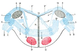 Dorsal cochlear nucleus