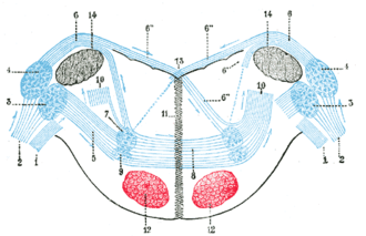 Acoustic tubercle - Terminal nuclei of the cochlear nerve, with their upper connections. (Schematic.) The vestibular nerve with its terminal nuclei and their efferent fibers have been suppressed. On the other hand, in order not to obscure the trapezoid body, the efferent fibers of the terminal nuclei on the right side have been resected in a considerable portion of their extent. The trapezoid body, therefore, shows only one-half of its fibers—those that come from the left.