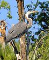 Great Blue Heron at Lake Woodruff - Flickr - Andrea Westmoreland (14).jpg