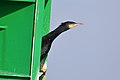Great Cormorant (Phalacrocorax carbo) (16187422835).jpg
