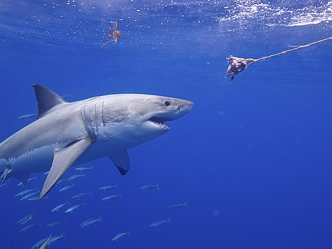 requin doing what great whites do
