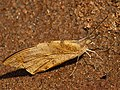 Great orange tip from Melagiri TN IMG 6346.jpg