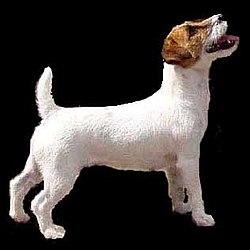 Jack Russell Terrier Wikipedia