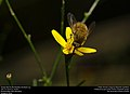 Greater Bee Fly (Bombylidae, Bombylius sp.) (30326302850).jpg