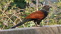 Greater Coucal (Centropus sinensis) at Madhurawada 01.JPG