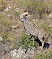 Greater Kudu (Tragelaphus strepsiceros) (32425615905).jpg