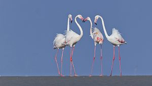 Greater flamingo - Greater flamingos breeds at Kutch