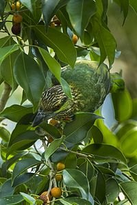 Green-eared Barbet - Thailand S4E7991 (16406879851).jpg