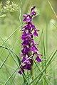 Green-winged Orchid - Anacamptis morio - panoramio (23).jpg