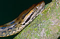 Green Anaconda (Eunectes murinus) juvenile close-up (10643922516).jpg