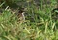 Green Heron (juvenile) (35225114600).jpg