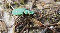 Green Tiger Beetle (8654832033).jpg