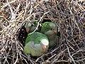 Green parrots at Parque por la Paz Villa Grimaldi - Santiago Chile - Peace Park (5278069896).jpg