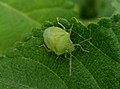 Green stink bug (Nezara viridula) at Madhurawada India 01.JPG