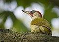 Green woodpecker (48681653236).jpg