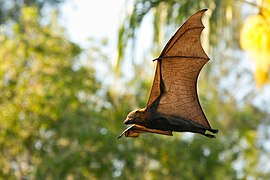 Grey headed flying fox - AndrewMercer IMG41848.jpg
