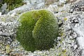 Grimmia alpestris (a, 113335-471123) 1444.JPG