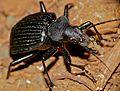 Ground Beetle (Calosoma planicolle) (33332700471).jpg