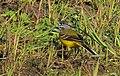 Gulärla Yellow Wagtail (13946571549).jpg