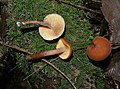 Gymnopilus bellulus? (32391377440).jpg