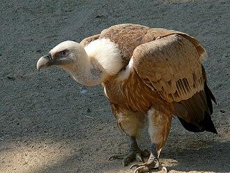 Sistema Ibérico - A griffon vulture