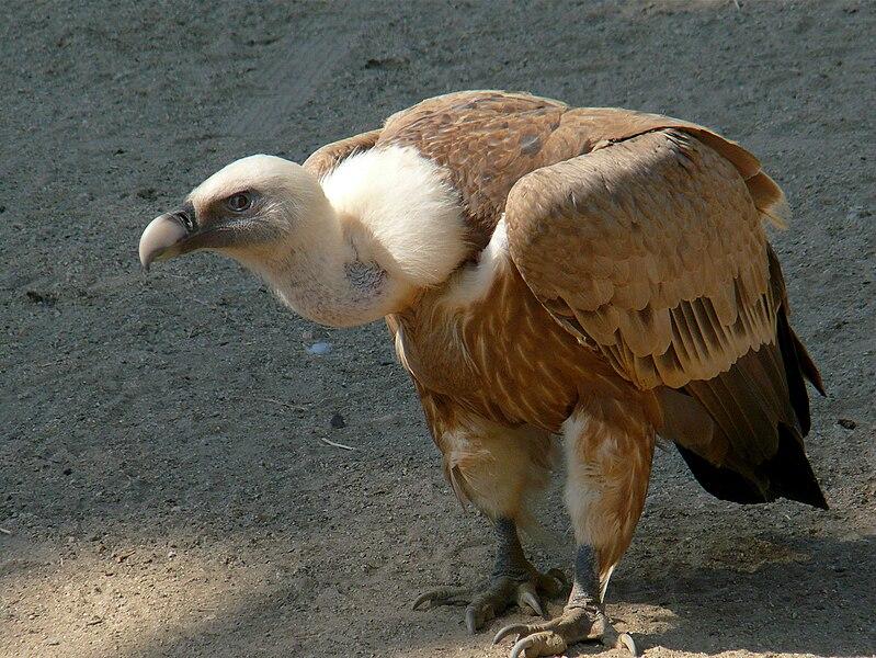 Ficheiro:Gyps fulvus -Oakland Zoo-8a.jpg