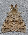 Gypsy Moth (Lymantria dispar) - Guelph, Ontario 2016-08-01 (02).jpg