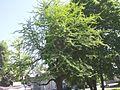 Hõlmikpuu 2.jpg