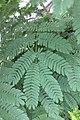 HK 上水 Sheung Shui 彩園路 Choi Yuen Road 鳳凰木 Delonix regia green pinnate compound leaves Sept 2017 IX1 03.jpg