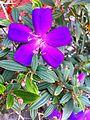 HK 上環 Sheung Wan 水坑口街 Possession Street footbridge plant flower Nov-2013 purple flower.JPG