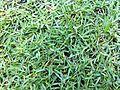 HK 香港 中山紀念公園 Sun Yat Sen Memorial Park 草皮 02 Lawn grass May-2012.jpg
