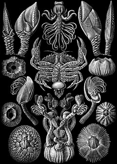 """Cirripedia"" from Ernst Haeckel's Kunstformen der Natur (1904). The crab at the centre is nursing the externa of the parasitic cirripede Sacculina"