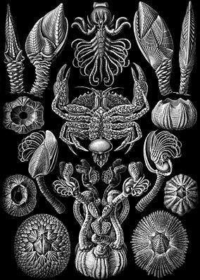 """Diverse Rankenfußkrebse. Aus Ernst Haeckels Werk """"Kunstformen der Natur"""" von 1904. In der Mitte ein Sackkrebs aus der Gattung Sacculina."""