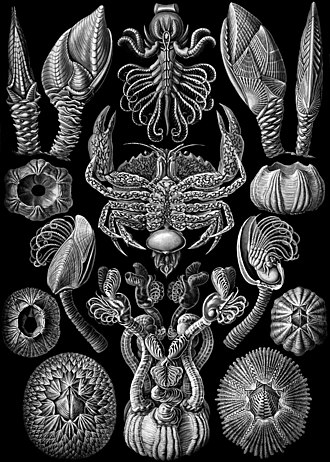 "Barnacle - ""Cirripedia"" from Ernst Haeckel's Kunstformen der Natur (1904): The crab at the centre is nursing the externa of the parasitic cirripede Sacculina."