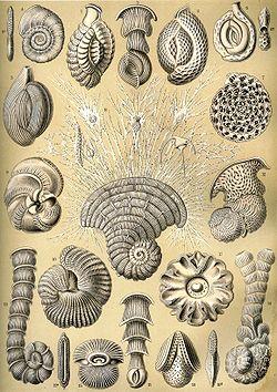 Thalamophora