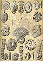 Haeckel Thalamophora 12.jpg