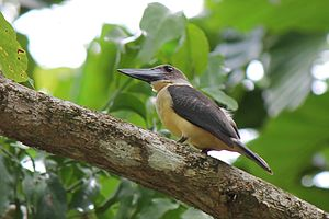 Great-billed kingfisher - Image: Halcyon melanorhyncha melanorhyncha