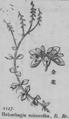Haloragis micrantha.png