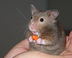 الحيوانات المهددة بالانقراض في العالم 250px-Hamster_in_han